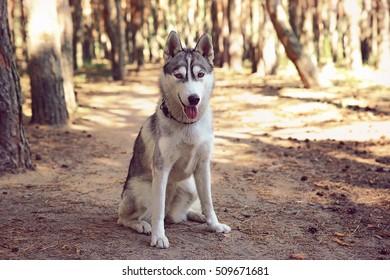 Cute husky on walk in forest