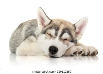 Cute husky puppy sleep, isolated on white