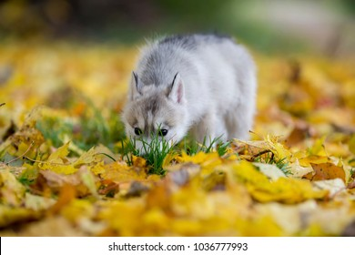 cute husky puppy sniffing the ground
