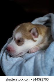 A cute HUSKY in a warm cloth wrap.