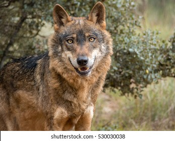 Cute iberian wolf portrait (Canis lupus signatus) with beautiful eyes