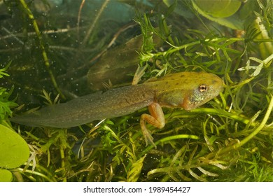 Cute image of metamorphosing green frog tadpole with light green back and dark spots with the front leg visible as a bulb near the eye