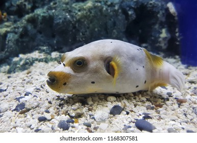 The cute immaculate puffer or yellow-eyed puffer in marine tank. Arothron immaculatus,  is a pufferfish from the Indo-West Pacific.