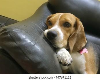 Cute and innocent dog beagle