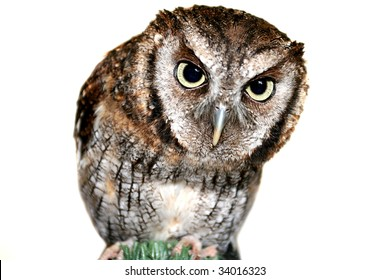 Cute inquisitive wise owl with focus on piercing Eyes