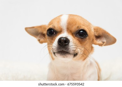 cute isolated close up portrait of Chihuahua puppy