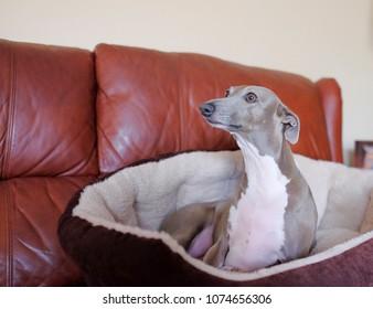CUte italian greyhound relaxing on the sofa