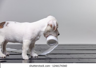cute jack russel puppy playing with toilet paper