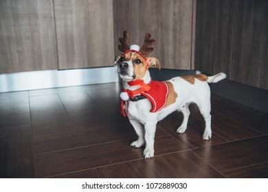 Cute jack russel terrier