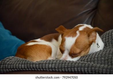 Cute Jack Russel Terrier Chihuahua Cross Dog sleeping