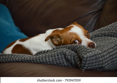 Cute Jack Russel Terrier Chihuahua Dog relaxing, laying down, eyes open