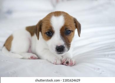 Cute Jack Russel terrier puppy