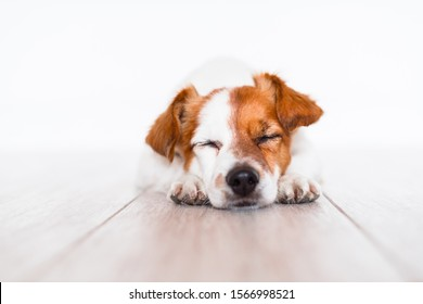 cute jack russell dog sleeping on the floor at home