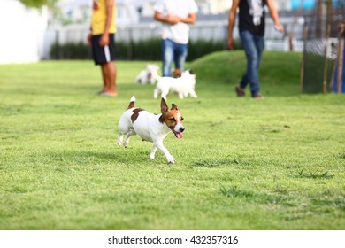 Cute Jack Russell running with happiness face in the garden