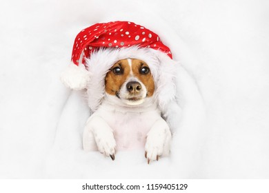 Cute jack russell in Santa hat,  lying in the snow. Christmas, new year holiday concept.