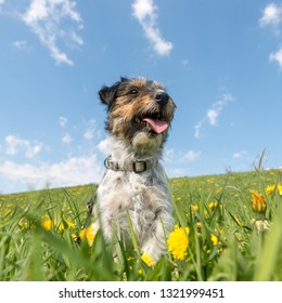 Cute Jack Russell Terrier dog are sitting in a meadow with dandelions in spring in front of blue background.  3 years old