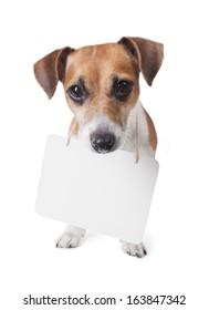 Cute Jack Russell Terrier dog with sign around his neck, on which you can place the information looking upward watchful eye. Looking to the camera. White background. studio shot