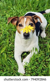 Cute Jack russell terrier Dog in green grass background with yellow flower on muzzle looking at camera. No hay and allergy, health care, selective focus