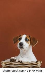 Cute Jack Russell Terrier puppy portrait.