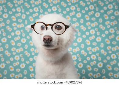 Cute Japanese Spitz Dog with glasses