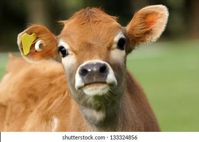 Cute Jersey calf, Westland, New Zealand