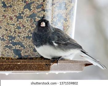 Cute Junco eating birdseed from a bird feeder.