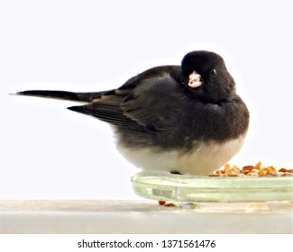 Cute Junco eating birdseed from a glass dish.
