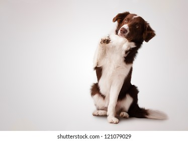 Cute junior brown border collie sitting and raising a paw