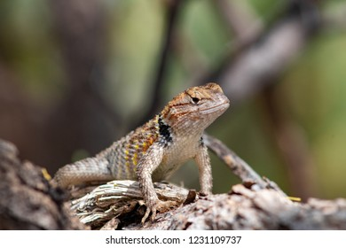 A cute juvenile Desert Spiny Lizard perched on gray tree branches. Orange, yellow, blue and cream or white colors. Close up of a beautiful wild reptile in the Sonoran Desert. Tucson, Arizona. 2018.