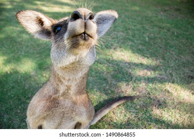 Cute kangaroo close up. Funny kangaroo shot, Kangaroo looking into the camera