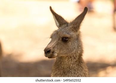 cute kangaroo joey in a park