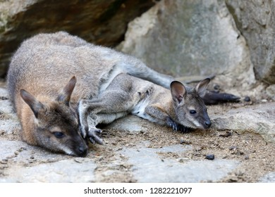 cute kangaroo mother with baby in bag, Red necked Wallaby (Macropus rufogriseus on rock