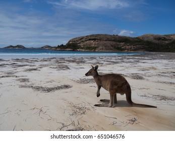 cute kangaroo on a beach in australia