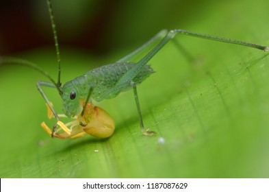 a cute katydid nymph enjoying its supper