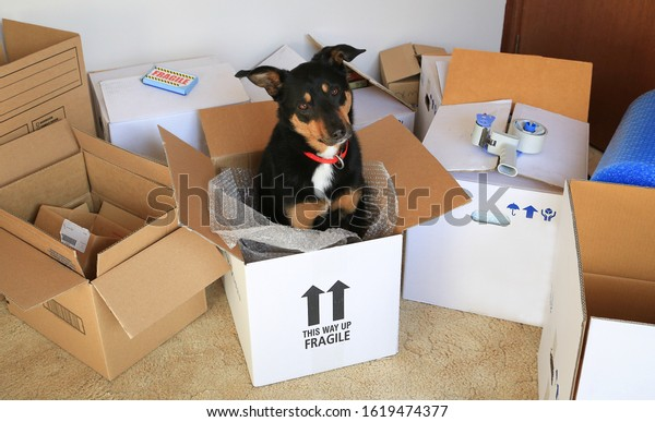 Cute Kelpie dog sitting in a cardboard packing box amongst other packing materials.