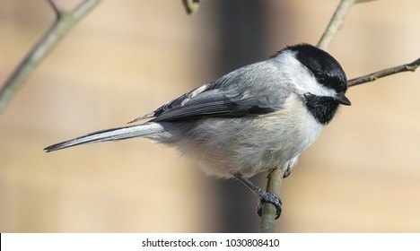 Cute Kentucky's black capped chickadee perching on branch with wall background nature photography 2018
