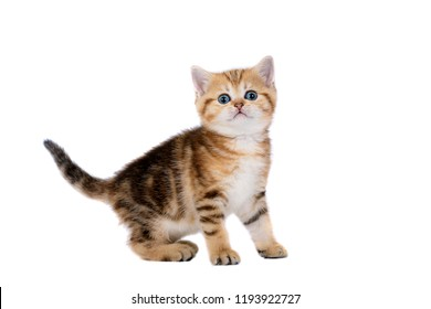 cute kitten british breed isolated on white background