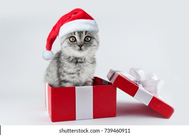 Cute kitten cat Scottish lop-eared with Christmas Santa hat in red present gift boxes ribbon on white background