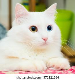 4 577 Angora Angora Cat Images Royalty Free Stock Photos On