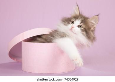 Cute kitten inside pink gift box