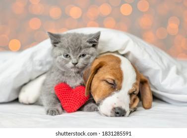 Cute Kätzchen und Jack Russell Terrier Welpe schlafen zusammen mit rotem Herzen unter warmer Decke auf einem Bett auf festem Hintergrund. Valentinstag-Konzept