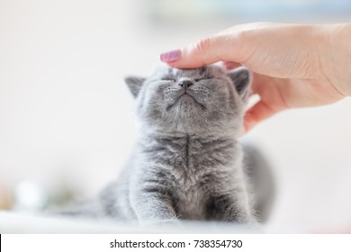 Cute kitten loves being stroked by woman's hand. British Shorthair cat.