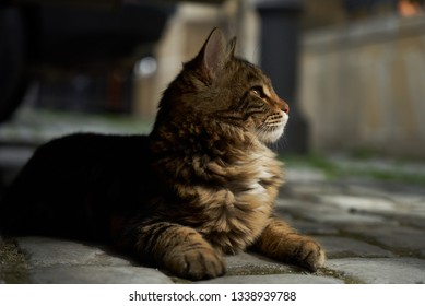 Cute kitten maine coon playing outdoors. Portrait of domestic fluffy kitten maine coon cat lies on street, close-up.
