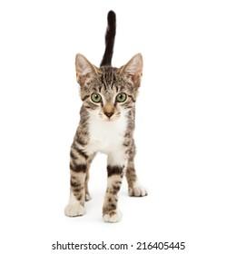 A cute kitten on a white background walking forward