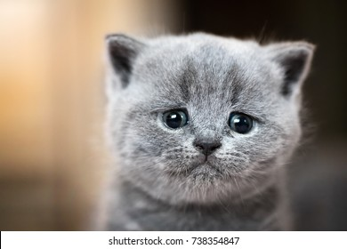 Cute kitten portrait. British Shorthair cat. Sad, crying expression