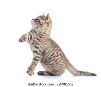 Cute kitten standing profile side view isolated over white background cutout.