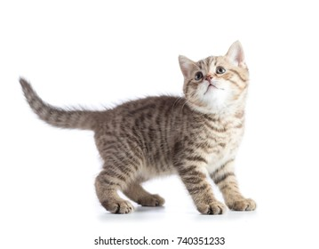 Cute kitten standing profile side view isolated over white background cutout