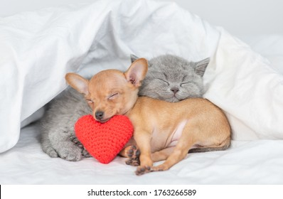 Cute kitten and Toy terrier puppy sleep together with red heart under warm blanket on a bed at home. Valentines day concept