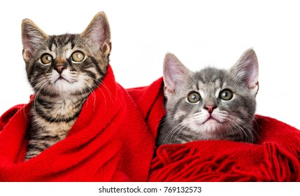 cute kittens with a red scarf on white