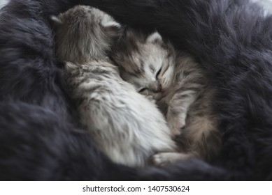 Cute kittens sleeping on black fur